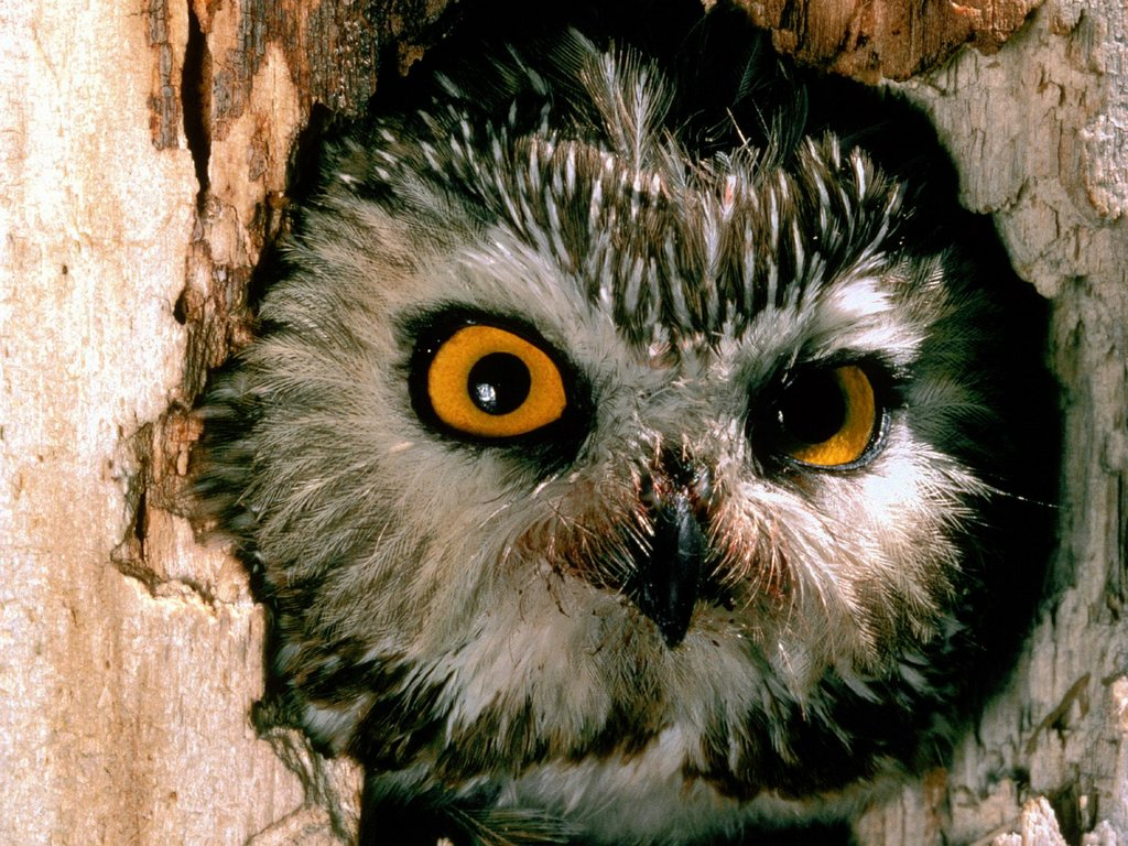Saw Whet Owl Pennsylvania