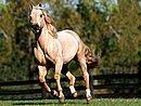 Romeo Quarter Horse