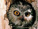 Saw Whet Owl Pennsylvania