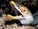 Surprise! Spotted Moray Eel Solomon Islands