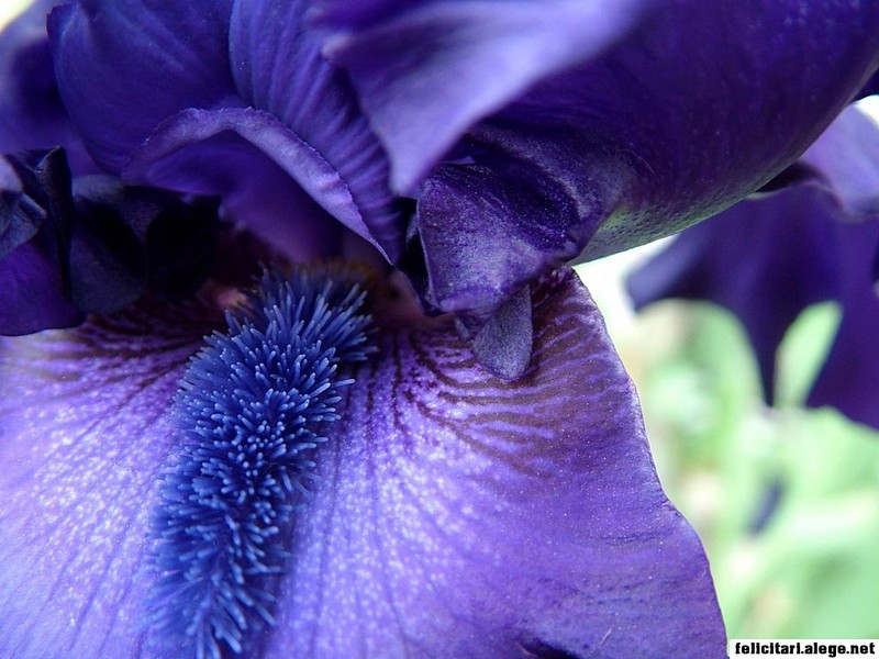 Blue Bearded Iris Detail Closeup Photo